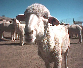 Picture of sheep 171